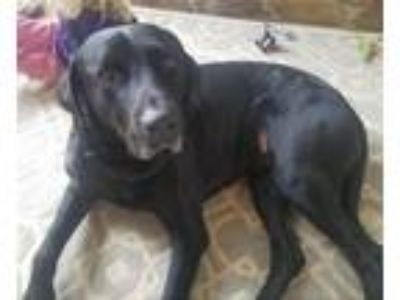 Adopt Duke a Labrador Retriever / Great Dane / Mixed dog in Waxhaw
