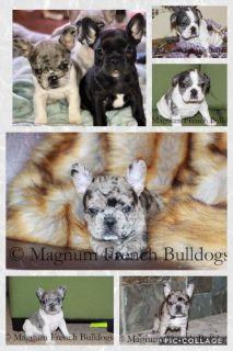 Blue Merle French Bulldog Puppies