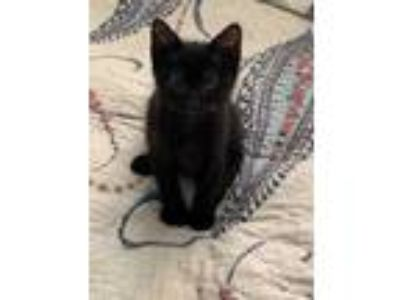 Adopt Falcon O'Henry a All Black Domestic Shorthair / Domestic Shorthair / Mixed