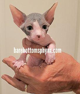 Bambino kitten's California barebottom sphynx and bambino's