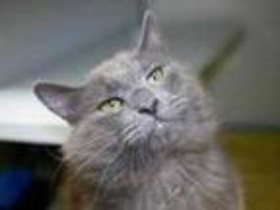 Adopt Pepper Jack a Gray or Blue Domestic Longhair / Domestic Shorthair / Mixed