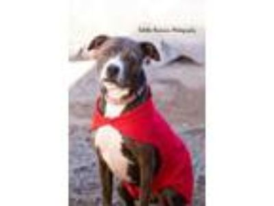 Adopt Penny - PAWS Dog a Brindle American Staffordshire Terrier / Mixed dog in