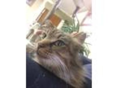 Adopt Fluffy a Tiger Striped Maine Coon (long coat) cat in Forest Hills