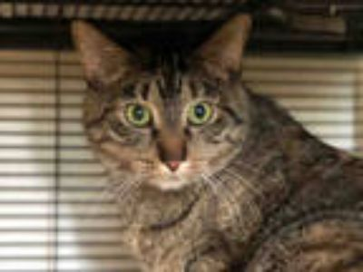 Adopt VERA a Brown Tabby Domestic Shorthair / Mixed (short coat) cat in Urbana