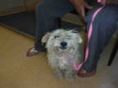 Adopt HANDSOME a White Cairn Terrier / Mixed dog in San Jose, CA (25625420)