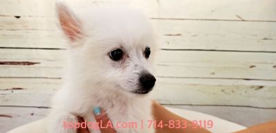 Pomeranian Spitz Mix Puppy - Male - Swan ($1,599)