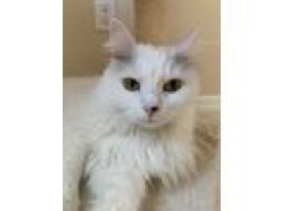 Adopt Angie a White Domestic Longhair / Mixed (long coat) cat in Orlando