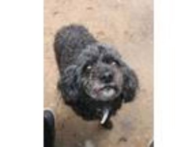 Adopt Baby a Black Poodle (Miniature) / Mixed dog in Carlisle, SC (24057748)