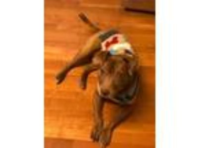 Adopt Bunk a Brown/Chocolate American Pit Bull Terrier / Mixed dog in St.