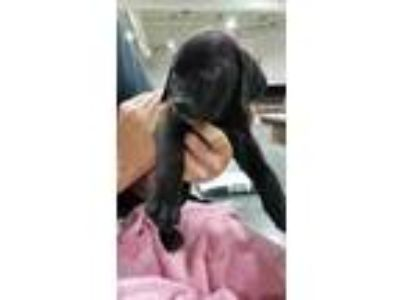 Adopt Canvas a Black Retriever (Unknown Type) / Mixed dog in Normal