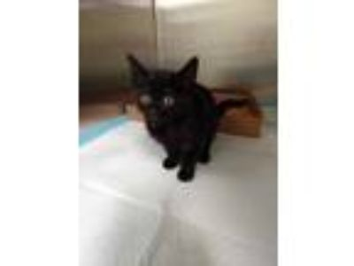 Adopt Harvey a All Black Domestic Shorthair / Domestic Shorthair / Mixed cat in
