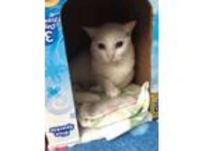 Adopt Barn Cat - Snowy a Domestic Short Hair
