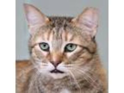 Adopt Sammie a Domestic Short Hair, Torbie