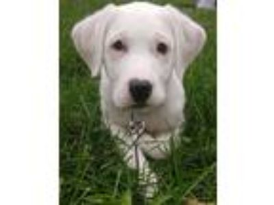 Adopt KIT a White Great Pyrenees / Mixed dog in Elyria, OH (25583782)