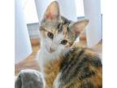 Adopt Pumpkin a Domestic Shorthair / Mixed cat in Austin, TX (25833135)