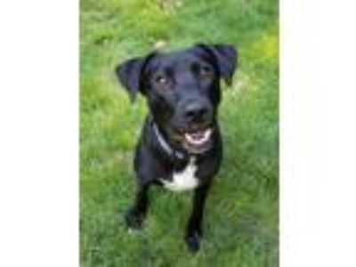 Adopt Rex a Black - with White Labrador Retriever / Mixed dog in Roswell