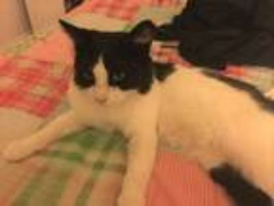 Adopt Barnaby a Domestic Medium Hair