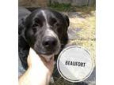 Adopt Beaufort a Labrador Retriever / Mixed dog in Brookeville, MD (25796771)
