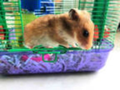 Adopt STUART JR. a Brown or Chocolate Hamster / Mixed small animal in Ft