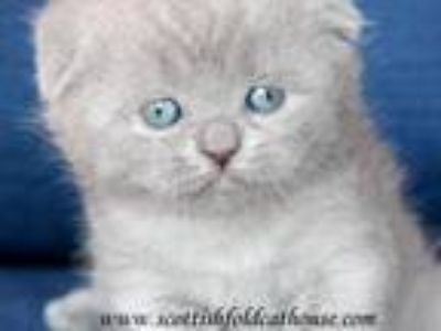 Scottish Fold Female