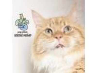 Adopt Tigger a Orange or Red Domestic Longhair cat in Knoxville, TN (25337927)
