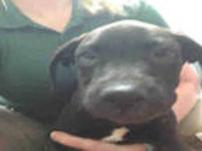 Adopt HEATH a Black American Pit Bull Terrier / Mixed dog in Plano