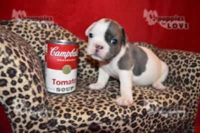 French Bulldog PUPPY FOR SALE ADN-87055 - TINY AKC  FULL REGISTRATION