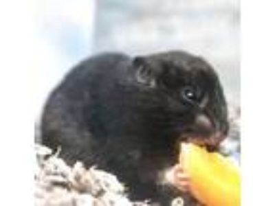 Adopt Daenerys a Black Hamster / Hamster / Mixed small animal in Seattle
