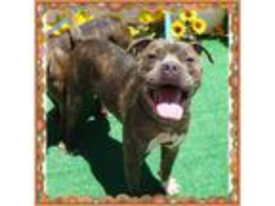 Adopt BRUNO see Negra a Brindle Pit Bull Terrier / Mixed dog in Marietta