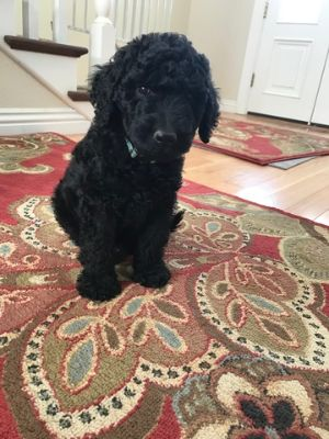 Poodle (Standard)-Goldendoodle Mix PUPPY FOR SALE ADN-82195 - Gorgeous F1b Goldendoodle puppies available June 7