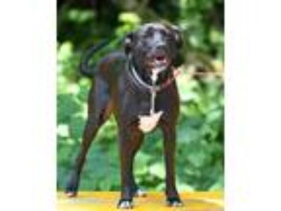 Adopt Jessie a Black Labrador Retriever / Pit Bull Terrier / Mixed dog in