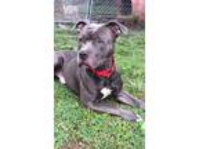 Adopt Banzai a Gray/Blue/Silver/Salt & Pepper American Pit Bull Terrier / Mixed