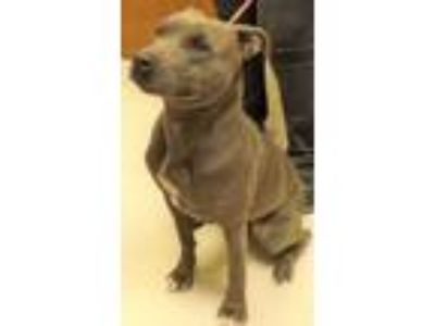 Adopt Shelly a Pit Bull Terrier