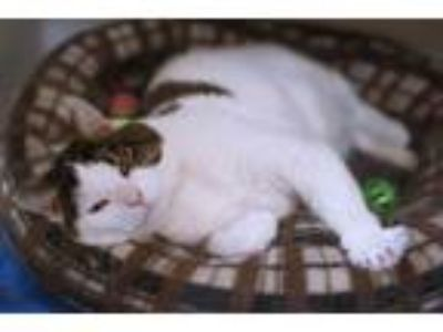 Adopt Gatolito a White (Mostly) Domestic Shorthair / Mixed (short coat) cat in