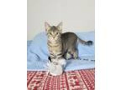Adopt Faith a Brown Tabby Domestic Shorthair (short coat) cat in Bay Shore