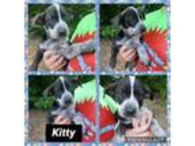 Adopt Kitty a Merle Catahoula Leopard Dog / Australian Cattle Dog / Mixed dog in