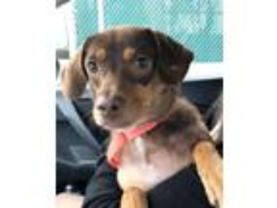 Adopt Olive Street a Hound (Unknown Type) / Mixed dog in Boston, MA (25942415)