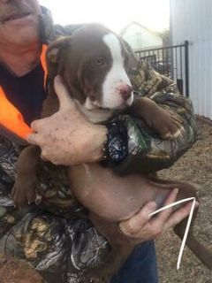 American Pit Bull Terrier PUPPY FOR SALE ADN-113590 - Beautiful Brown Pit Bull Puppy