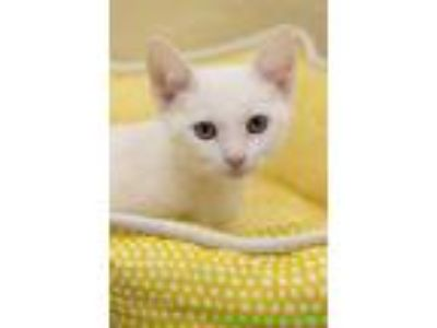 Adopt Jet a White Domestic Shorthair (short coat) cat in Fresno, CA (25281845)