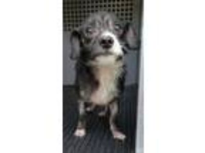 Adopt Squeak a Shih Tzu, Mixed Breed