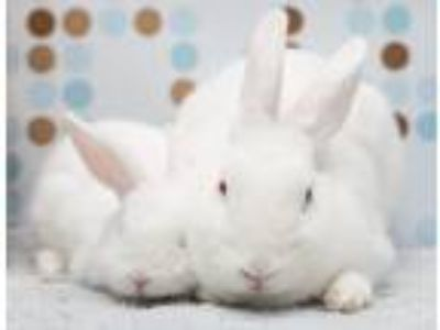 Adopt Flower Bunnies a White Florida White / Mixed (short coat) rabbit in Los