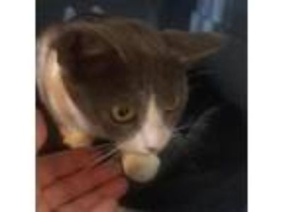 Adopt Ginny a Gray or Blue Domestic Shorthair cat in League City, TX (25559923)