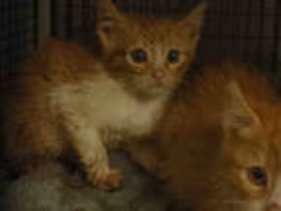Adopt SEVEN a Orange or Red Tabby Domestic Mediumhair / Mixed (medium coat) cat