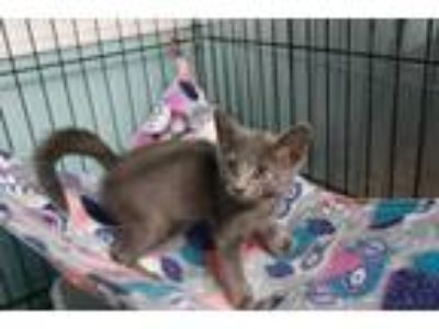 Adopt Emily a Gray or Blue Domestic Shorthair (short coat) cat in Loogootee