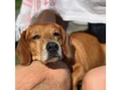 Adopt Peg Boggs a Brown/Chocolate - with White Basset Hound / Mixed dog in
