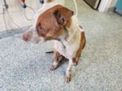 Adopt GLENDA a Brown/Chocolate - with White American Pit Bull Terrier / Mixed