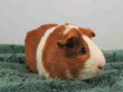 Adopt ROCKY a Brown or Chocolate Guinea Pig / Mixed small animal in Loveland