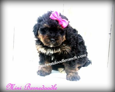 Bernedoodle PUPPY FOR SALE ADN-78143 - Mini Bernedoodle and Cockapoo Puppies