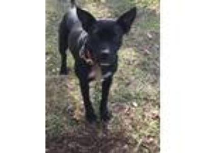 Adopt Missie a Black - with White German Shepherd Dog / Doberman Pinscher /