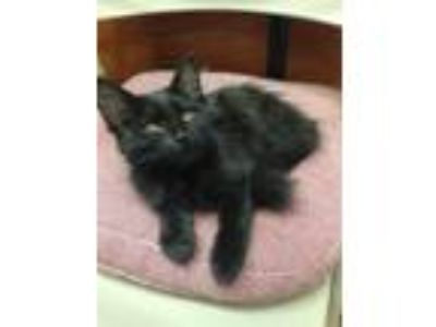 Adopt Pookie a Domestic Long Hair